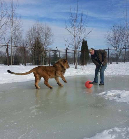 Sterk, a African Lion playing Pond Hockey at Oaklawn Farm Zoo